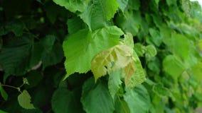 Zieleni liście drzewo zdjęcie wideo