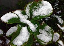 Zieleni liście hortensja zakrywają z śniegiem fotografia stock