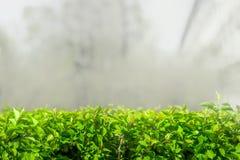 Zieleni liście w mgle Zdjęcia Stock