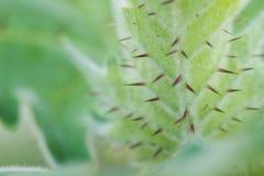 Zieleni liście z cierniem Zdjęcia Stock