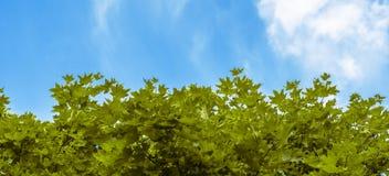Zieleni liście klonowi na tle niebieskie niebo Zdjęcia Royalty Free