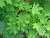 Zieleni liście klonowi, tło Zdjęcia Stock