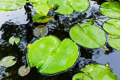 Zieleni lilly ochraniacz na stawie Obraz Stock