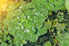 Zieleni lilly ochraniacza ` s pokrywa powierzchnia staw Obraz Stock