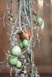 zieleni śliwkowi Roma pomidoru pomidory Obrazy Royalty Free