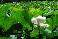 Zieleni lotosów liście i biali lotosowi kwiaty w świetle słonecznym Zdjęcie Stock