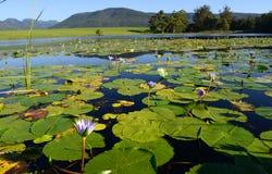 Zieleni lotosowi liście z wodnymi lelujami w tamie, Ogrodowa trasa, Południowa Afryka Obraz Stock