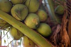 Zieleni młodzi koks na kokosowym drzewie - Ko Chang, Tajlandia, Kwiecień 2018 fotografia stock