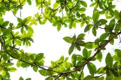 Zieleni młodzi liście graniczą na białym tle z kopii przestrzenią Obraz Royalty Free
