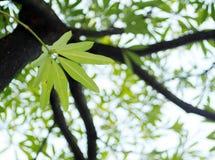 Zieleni młodzi liście tropikalna roślina, Dita, Shaitan drewno, Czarci drzewo, Alstonia scholaris L R BR Zdjęcie Royalty Free