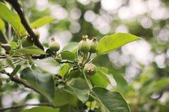 Zieleni mali jabłka na drzewie obraz royalty free