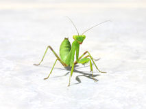 zieleni mantes Obrazy Royalty Free