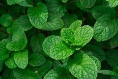 Zieleni miętowi liście, zbliżenie świeżych mennic liści tekstura lub Obraz Royalty Free