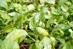 Zieleni obfitolistni warzywa Obrazy Stock