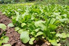 Zieleni obfitolistni warzywa Zdjęcia Stock
