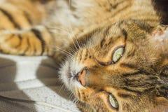 Zieleni oczy pomarańczowy pasiasty kot Fotografia Stock
