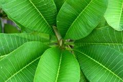 Zieleni odgórni frangipani liście okrążają abstrakcjonistycznego natury tło Fotografia Stock