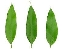 zieleni odosobniony liść naturalnie trzy biel Zdjęcia Stock