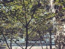 Zieleni okwitnięć drzewa w miasto jardzie w suny dniu Zamyka w górę strzału obraz royalty free