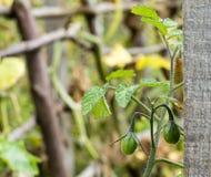 Zieleni organicznie dziecko pomidory Obrazy Royalty Free