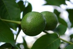 zieleni orzech włoski Zdjęcia Stock