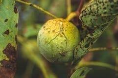Zieleni orzechy włoscy dojrzewają, na gałąź drzewo z zielonym liścia zakończeniem z promieniami jaskrawy słońce pojęcia dorośnięc zdjęcie stock