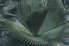 Zieleni palma liście lub kokosowy fronds tło tropikalny n Fotografia Royalty Free