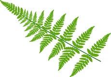 zieleni paproć liście na białym tle Obrazy Royalty Free