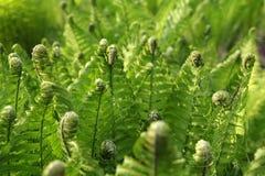 zieleni paproci potomstwa Obrazy Royalty Free