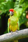 zieleni piękna kolorowa papuga Obraz Royalty Free