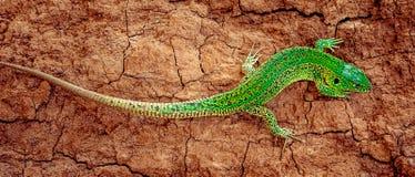 Zieleni piasek jaszczurki Lacerta agilis na brązie pękali ziemię sztandar panoramiczny Obraz Royalty Free