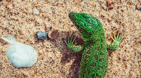 Zieleni piasek jaszczurki Lacerta agilis na piasku Zdjęcie Stock