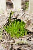 zieleni pierwszy wiosna Fotografia Royalty Free