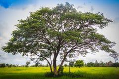 Zieleni pojedynczy drzewo na ryżowym polu z chmurnym niebieskiego nieba backgro Zdjęcia Royalty Free