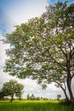 Zieleni pojedynczy drzewo na ryżowym polu z chmurnym niebieskiego nieba backgro Obrazy Royalty Free