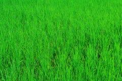 Zieleni pola ryż i światło dzienne Zdjęcia Royalty Free