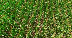 Zieleni pola z kukurudzą zbiory wideo