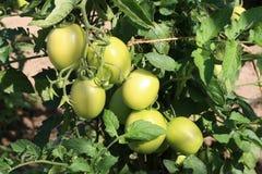 zieleni pomidorowi potomstwa Zdjęcie Royalty Free