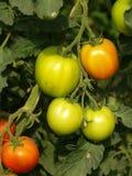Zieleni pomidory Obraz Royalty Free