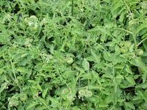 Zieleni pomidory zdjęcie stock