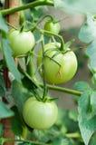 Zieleni pomidory Obraz Stock