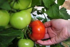 Zieleni pomidory r w szklarni Zdjęcia Stock