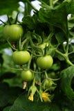 Zieleni pomidory r w szklarni Fotografia Royalty Free