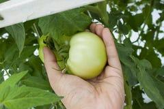 Zieleni pomidory w gospodarstwie rolnym Fotografia Stock