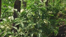 Zieleni pomidory wieszają na gałąź Płód pomidorowa roślina w szklarni Rolniczy biznes niedojrzali pomidory na a zbiory wideo