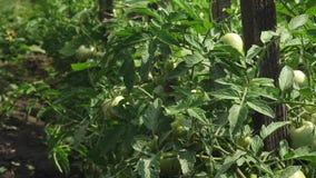 Zieleni pomidory wieszają na gałąź P??d pomidorowa ro?lina w szklarni Rolniczy biznes niedojrzali pomidory na a zdjęcie wideo