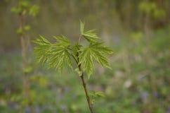 Zieleni potomstwa opuszczają i pączkują na gałąź klonowy drzewo Obraz Stock