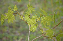 Zieleni potomstwa opuszczają i pączkują na gałąź klonowy drzewo Zdjęcia Stock
