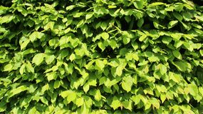Zieleni potomstwo liści ogrodzenia zdjęcie royalty free
