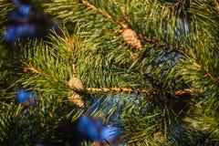 Zieleni prickles na gałąź w wiosna lesie fotografia stock